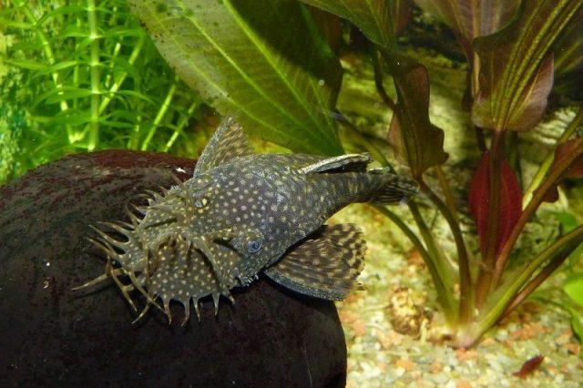 Gambar Ikan Hias Spesies Perwakilan Ikan Bristlenose plecostomus