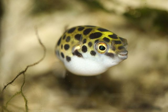 Gambar Ikan Hias Spesies Perwakilan Ikan Buntal Bintik Hijau