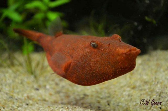 Gambar Ikan Hias Spesies Perwakilan Ikan Congo puferfish