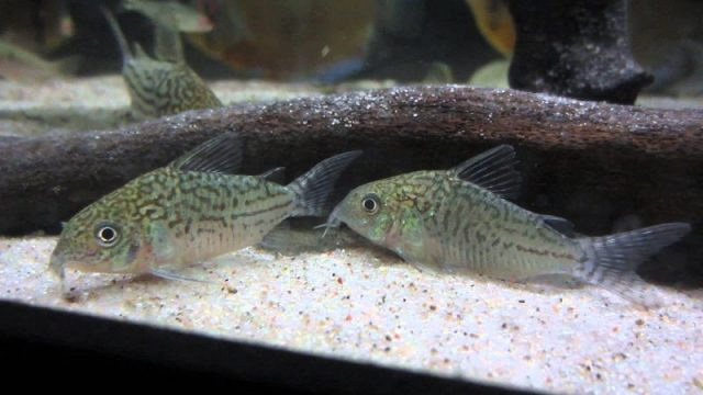 Gambar Ikan Hias Spesies Perwakilan Ikan Corydoras reticulatus