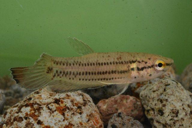 Gambar Ikan Hias Spesies Perwakilan Ikan Cupang bintik