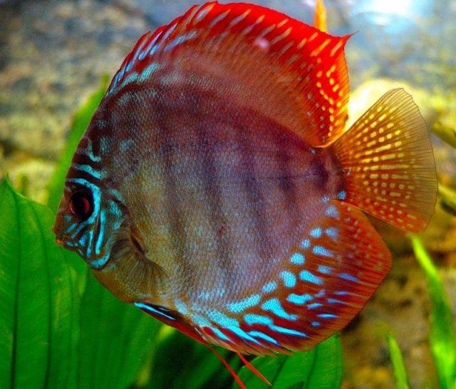 Gambar Ikan Hias Spesies Perwakilan Ikan Discus heckel