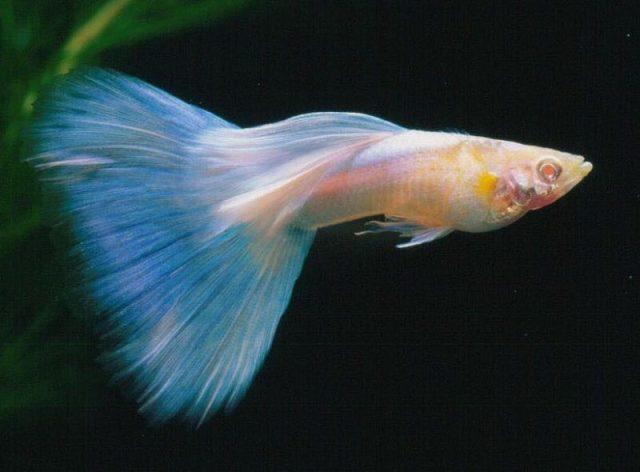 Gambar Ikan Hias Spesies Perwakilan Ikan Guppy