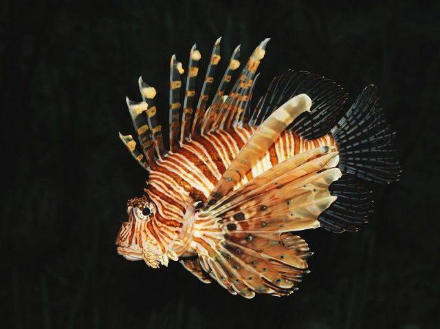 Gambar Ikan Hias Spesies Perwakilan Ikan Lepu ayam