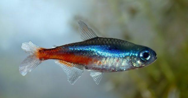 Gambar Ikan Hias Spesies Perwakilan Ikan Neon tetra