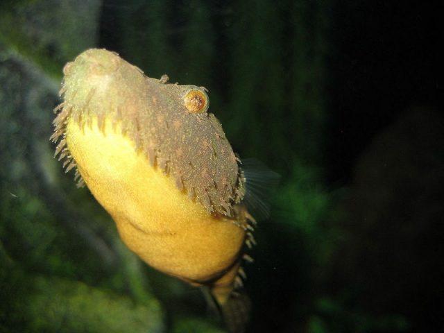 Gambar Ikan Hias Spesies Perwakilan Ikan Pao baileyi