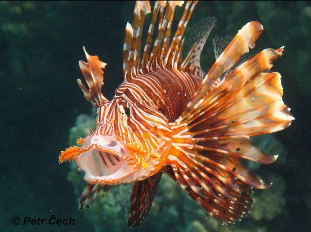 Gambar Ikan Hias Spesies Perwakilan Ikan Pterois mules