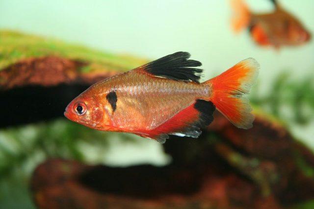 Gambar Ikan Hias Spesies Perwakilan Ikan Serpae tetra
