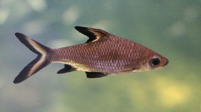 Gambar Ikan Hias Spesies Perwakilan Ikan balasak