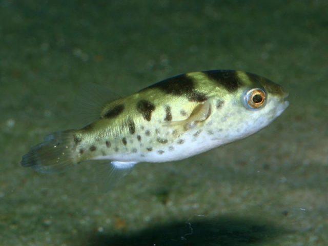 Ikan Hias Spesies Perwakilan Ikan buntal hijau