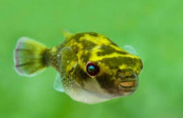 Gambar Ikan Hias Spesies Perwakilan Ikan leiodon cutcutia