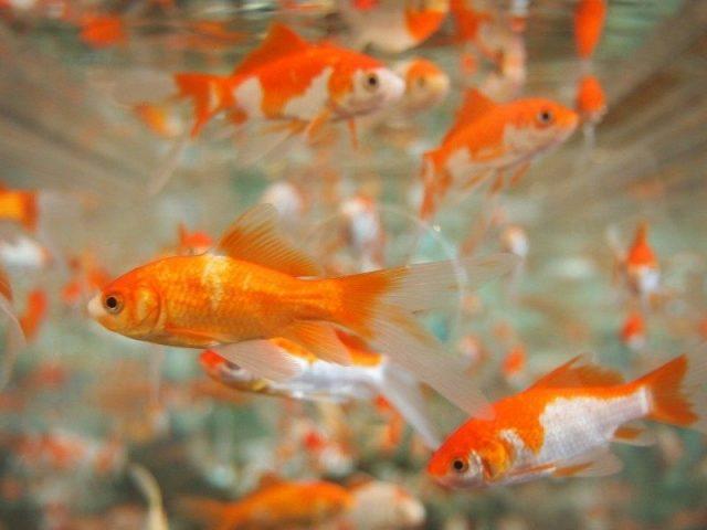 Gambar Ikan Hias Spesies Perwakilan Ikan mas hias