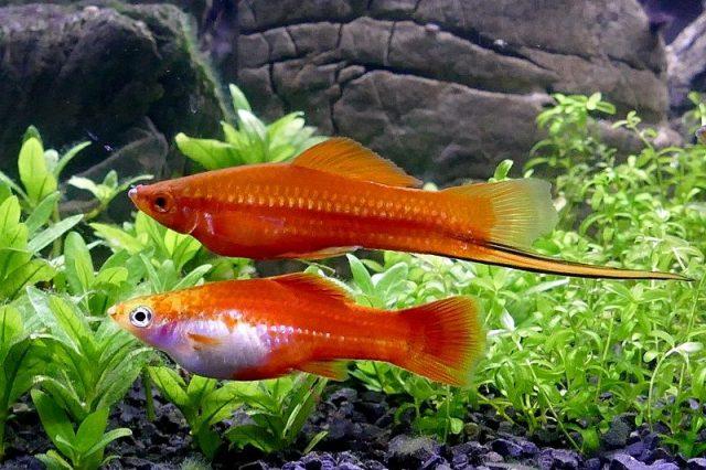 Gambar Ikan Hias Spesies Perwakilan Ikan pedang