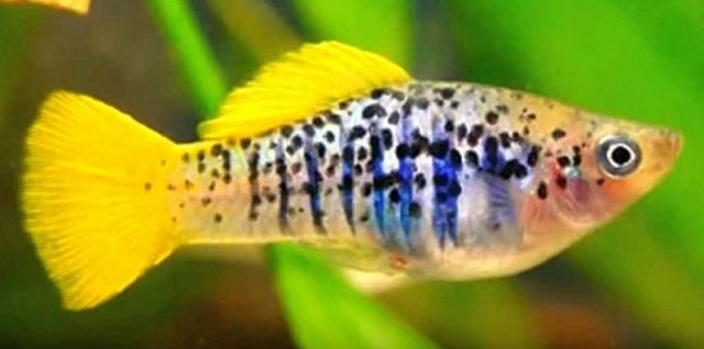 Gambar Ikan Hias Spesies Perwakilan Ikan platis atau platy