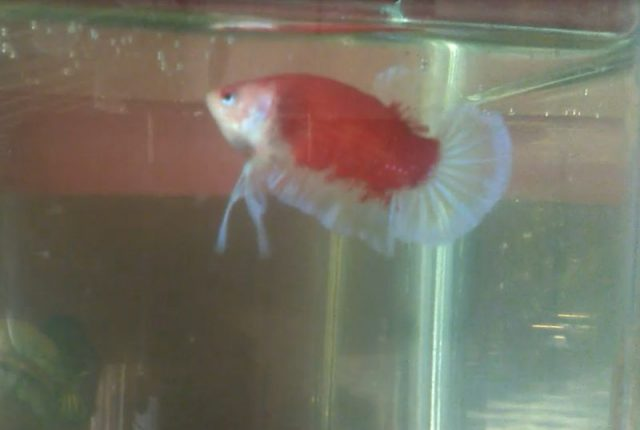 Gambar Ikan Hias Spesies Perwakilan Ikan siam petarung
