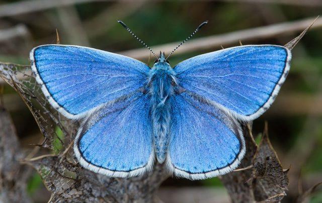 Jenis Kupu Kupu-Adonis Blue