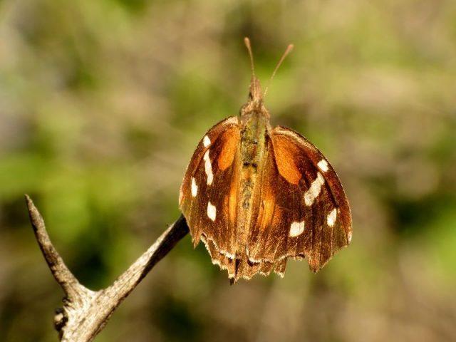Jenis Kupu Kupu-American Snout Butterfly