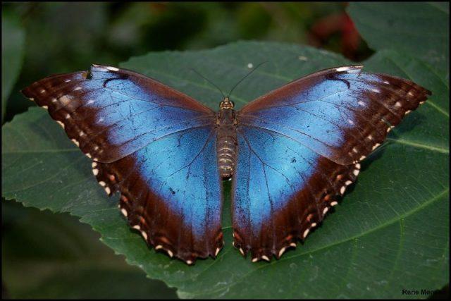 Jenis Kupu Kupu-Blue Morpho Butterfly