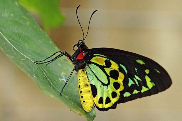 Jenis Kupu Kupu-Criton Birdwing