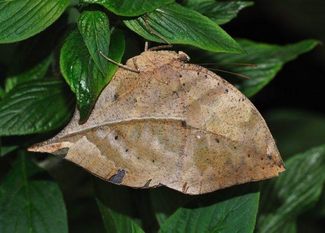 Jenis Kupu Kupu-Dead Leaves Butterfly