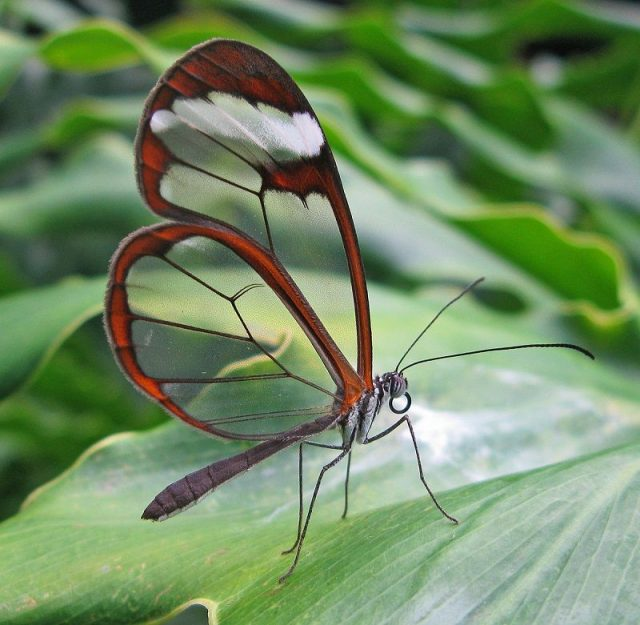 Jenis Kupu Kupu-Glasswing Butterfly