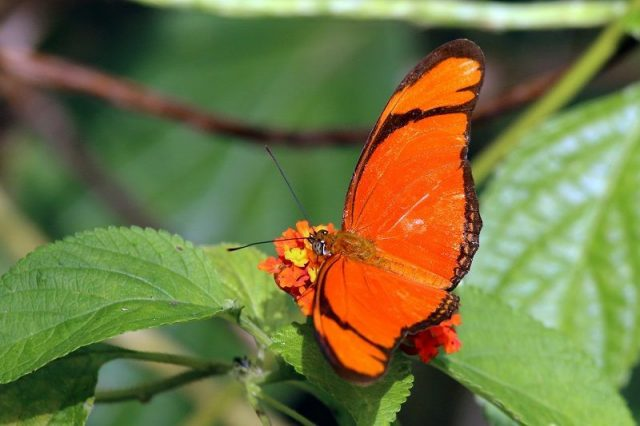 Jenis Kupu Kupu-Julia Butterfly