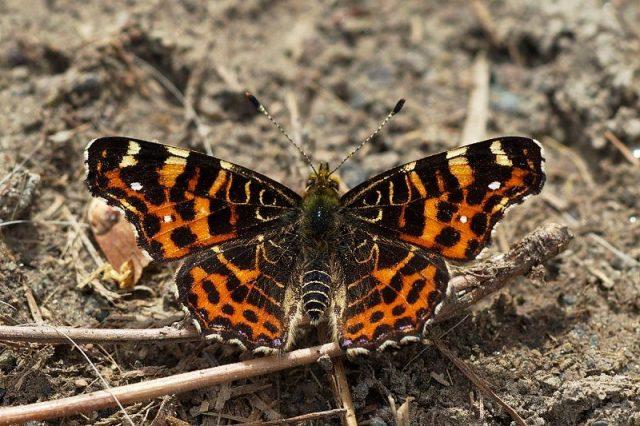 Jenis Kupu Kupu-Map Butterfly