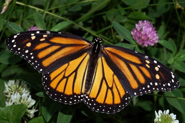 Jenis Kupu Kupu-Monarch Butterfly