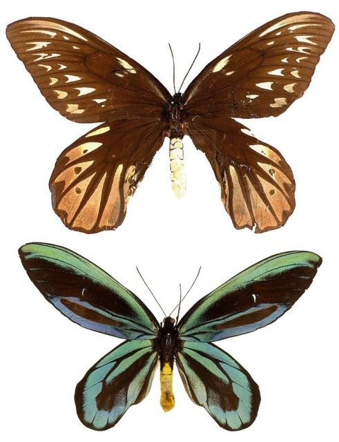 Jenis Kupu Kupu-Queen Alexandra Birdwing Butterfly