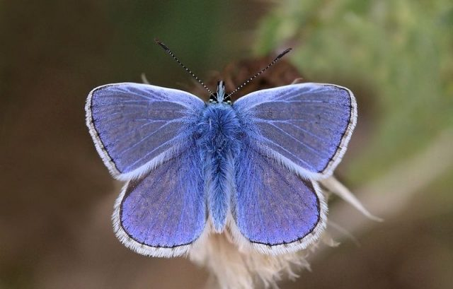 Jenis Kupu Kupu-Small Blue Butterfly