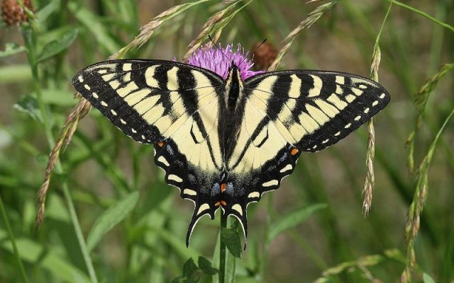 Jenis Kupu Kupu-Tiger Swallowtail Butterfly