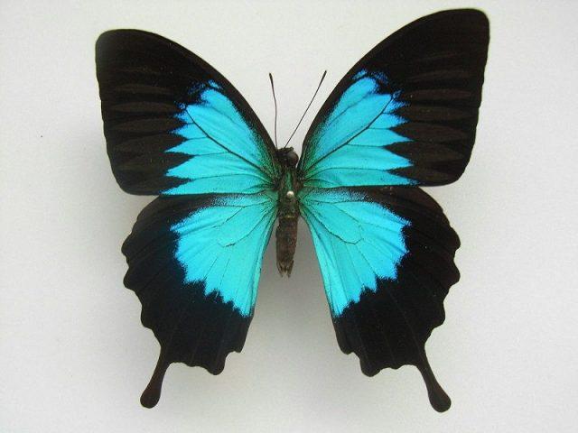 Jenis Kupu Kupu-Ulysses Butterfly