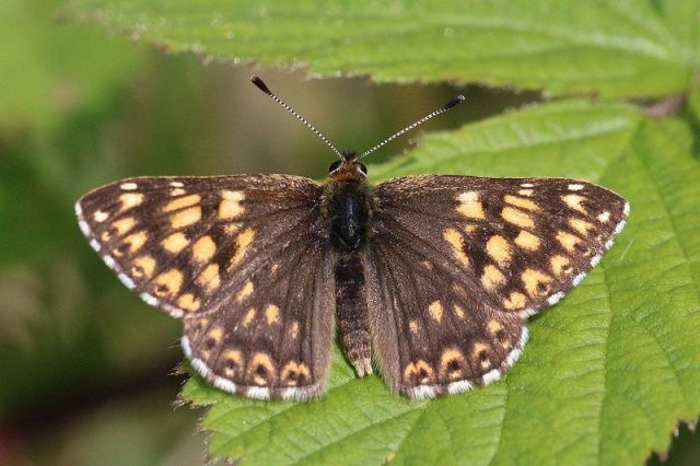 Jenis Kupu Kupu-duke of burgundy butterfly