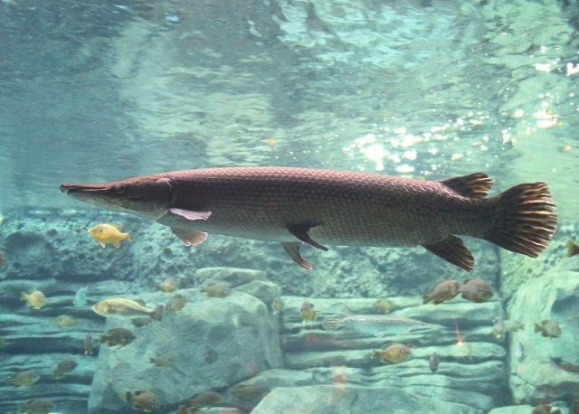 Gambar Nama Nama Ikan Hias Air Tawar Dan Gambarnya - Aligator