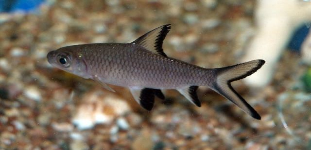 Gambar Nama Nama Ikan Hias Air Tawar Dan Gambarnya - Balashark