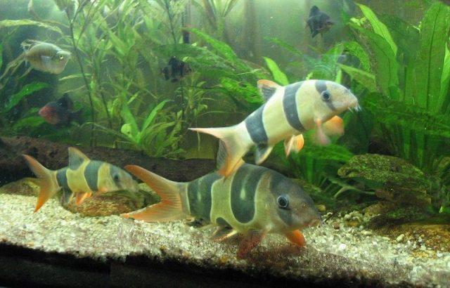 Gambar Nama Nama Ikan Hias Air Tawar Dan Gambarnya - Botia