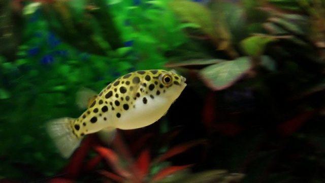 Gambar Nama Nama Ikan Hias Air Tawar Dan Gambarnya - Buntal Air Tawar