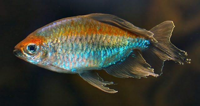 Gambar Nama Nama Ikan Hias Air Tawar Dan Gambarnya - Congo tetra