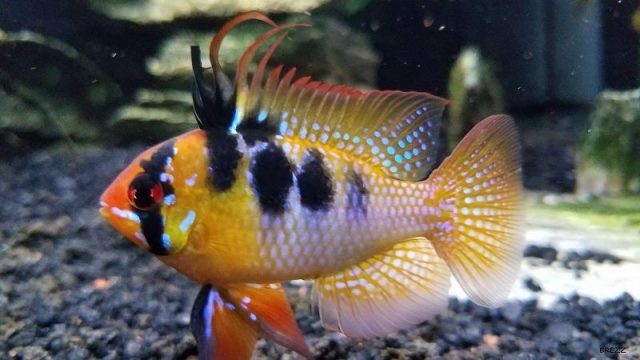 Gambar Nama Nama Ikan Hias Air Tawar Dan Gambarnya - German Blue Ram
