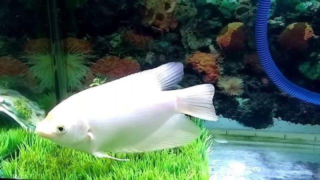 Gambar Nama Nama Ikan Hias Air Tawar Dan Gambarnya - Gurame Padang