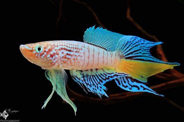 Gambar Nama Nama Ikan Hias Air Tawar Dan Gambarnya - Killifish