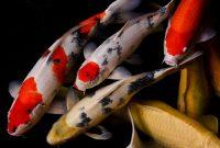Gambar Nama Nama Ikan Hias Air Tawar Dan Gambarnya - Koi