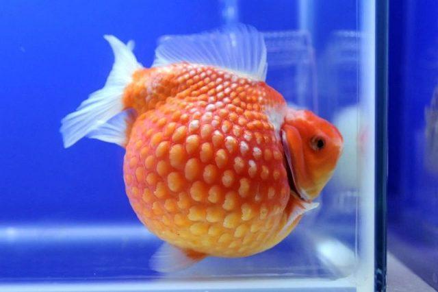 Gambar Nama Nama Ikan Hias Air Tawar Dan Gambarnya - Koki