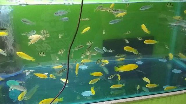 Gambar Nama Nama Ikan Hias Air Tawar Dan Gambarnya - Lemon