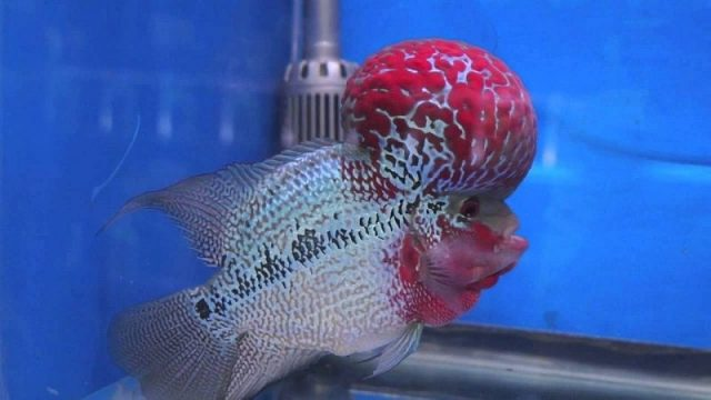 Gambar Nama Nama Ikan Hias Air Tawar Dan Gambarnya - Louhan