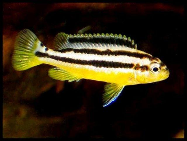 Gambar Nama Nama Ikan Hias Air Tawar Dan Gambarnya - Niasa