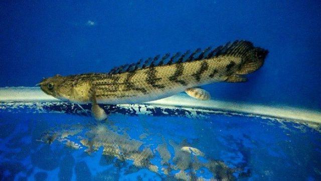 Gambar Nama Nama Ikan Hias Air Tawar Dan Gambarnya - Palmas
