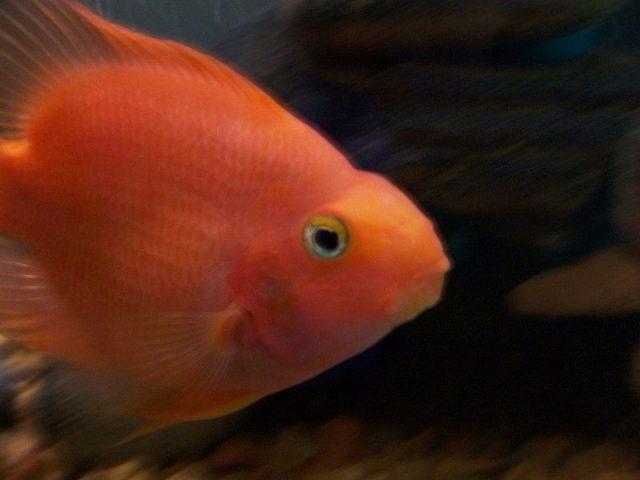 Gambar Nama Nama Ikan Hias Air Tawar Dan Gambarnya - Parrot