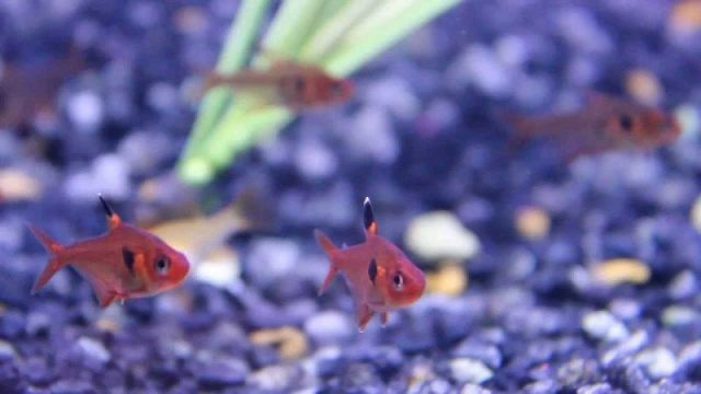 Gambar Nama Nama Ikan Hias Air Tawar Dan Gambarnya - Red phantom tetra
