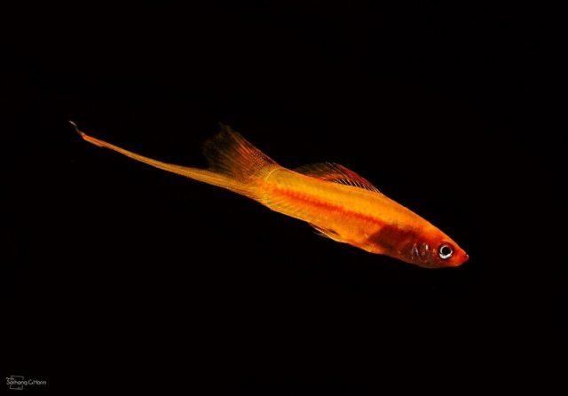 Gambar Nama Nama Ikan Hias Air Tawar Dan Gambarnya - Swordtail